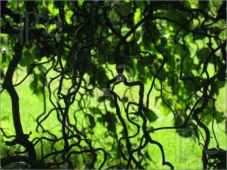Walking Stick Tree   Urban Farming   Pinterest