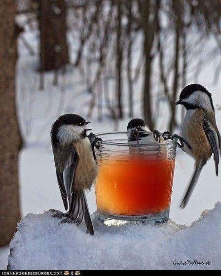 drinkin'   chickadees