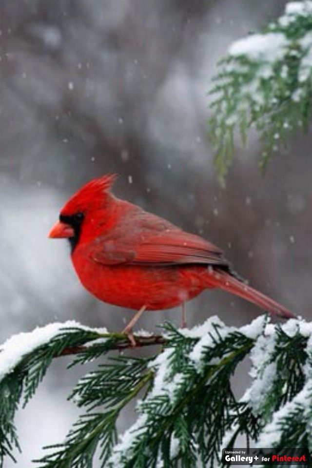 Cardinal bird in snow
