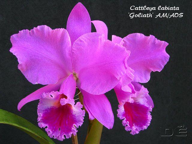 Cattleya Labiata Goliath Am Aos Brazilian Orchids Orqu 237 Deas Bra
