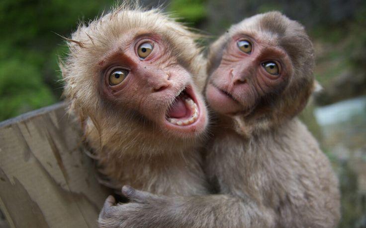 Fond d cran hd animaux singes rigolos animaux dr le for Fond ecran drole