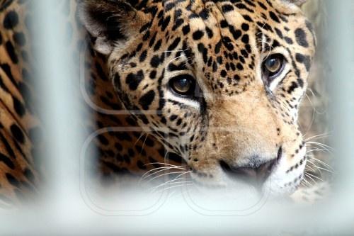 Sad Jaguar Wildlife Pinterest