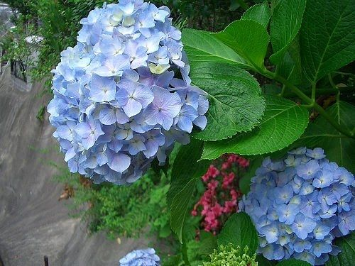 Winter care for hydrangea plants - Caring hydrangea garden ...