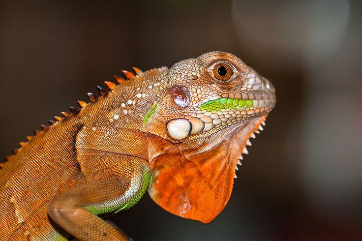 RED IGUANA by Lessy Sebastian on 500px | Iguanas | Pinterest
