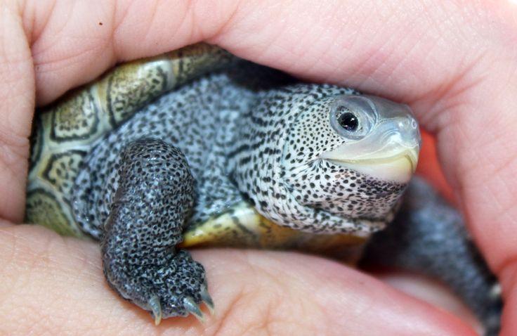 baby water turtle snuggled Turtles Pinterest