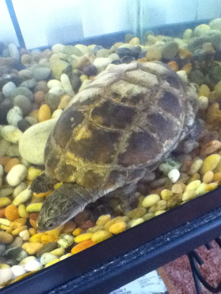 Our African Sideneck Turtle Hunter :) Hes semi-aquatic.