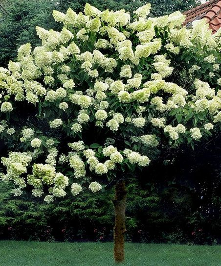 Limelight hydrangea tree garden pinterest for Limelight hydrangea