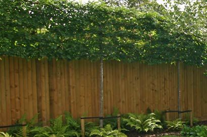 Pleached savannah holly trees underplanted with ferns and hostas