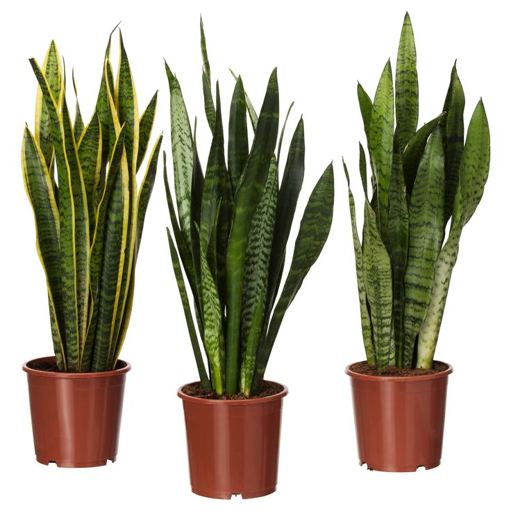 sansevieria trifasciata potted plant mother in law 39 s tongue assorted. Black Bedroom Furniture Sets. Home Design Ideas