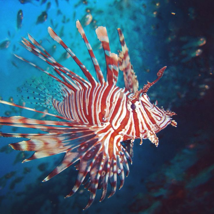 Pin by marine science camp on marine dreaming pinterest for Invasive fish in florida