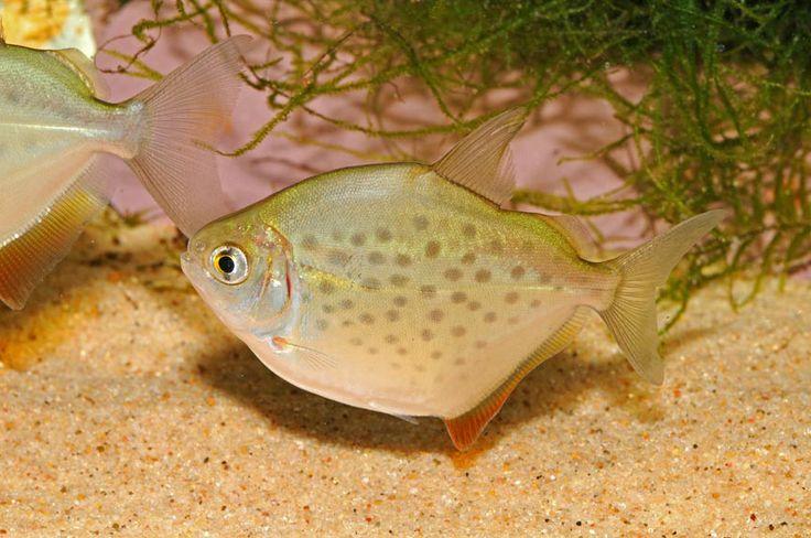 silver dollar photo Freshwater Aquarium Pinterest