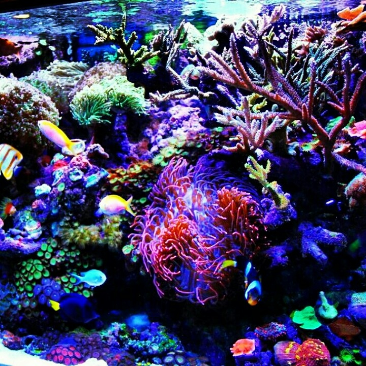 Mixed reef tank fish tanks pinterest for Reef tank fish