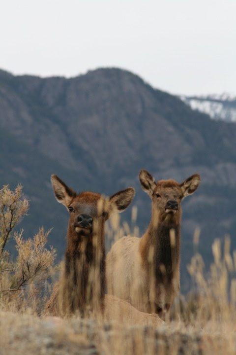 Elk are so dignified and intelligent looking ;)