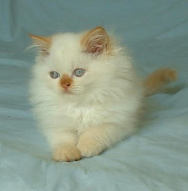 Himalayan Flame Point kitten         maybe someday will have another    Flame Point Himalayan