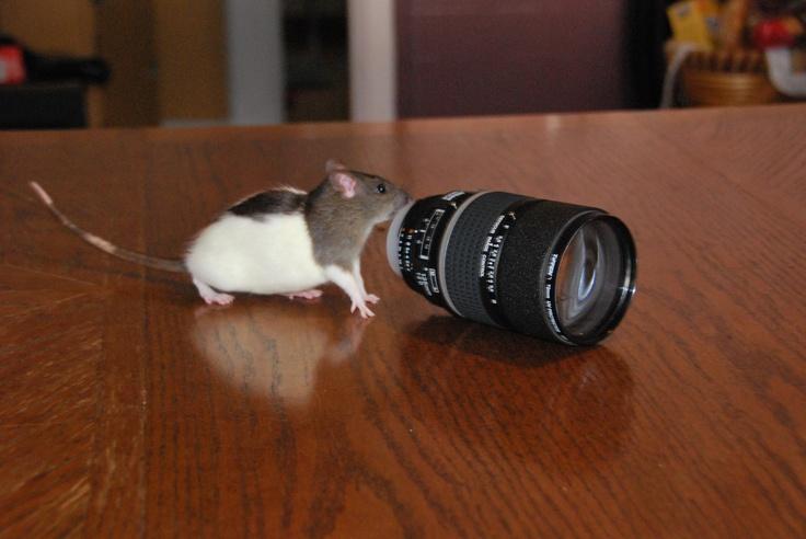 Taking rat photos | My Pet Rats | Pinterest