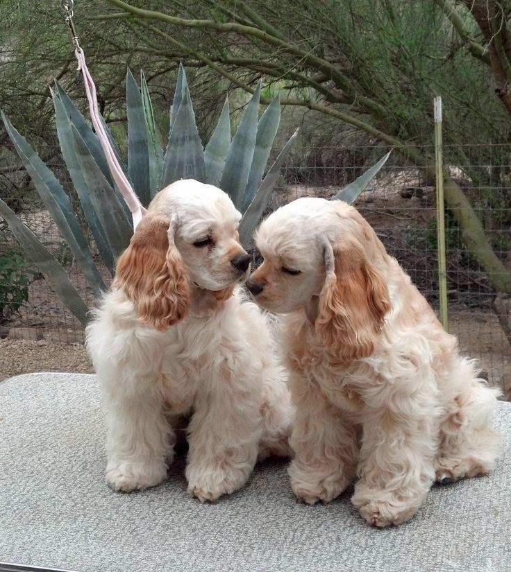 American cocker spaniel puppies - photo#26