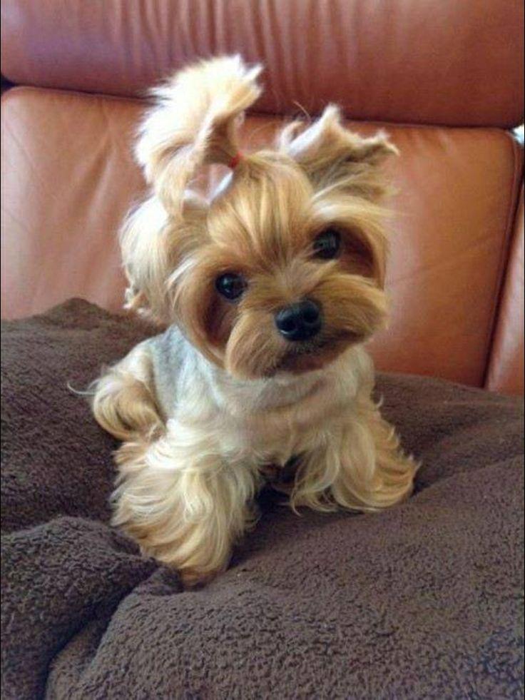 A-dorable! Teacup Yorkie. | Cute & Cozy | Pinterest