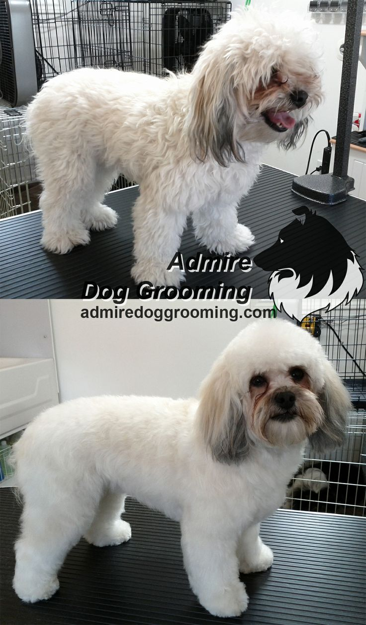 Shih Tzu x Poodle mix, Before and after. | Before and After | Pintere ...