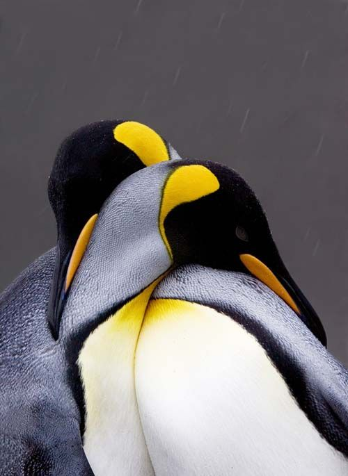 king penguins by jim urbach