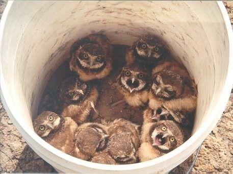 Bucket of owls!