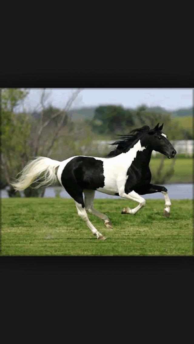 Black and white pinto horse - photo#7