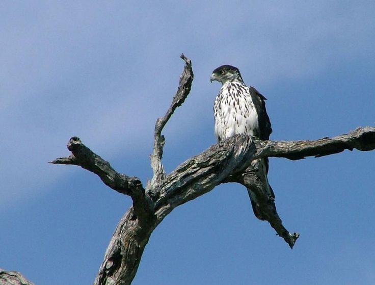 African-Hawk-Eagle | Different types of eagles | Pinterest