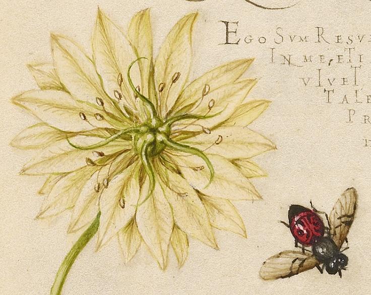 Black Cumins and Insect (detail), Joris Hoefnagel, Georg Bocskay, 1591-96, script 1561-62