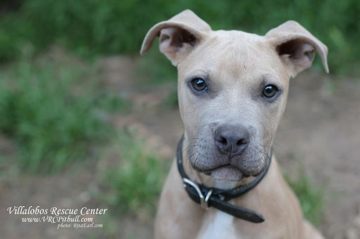 Duwayne Villalobos Rescue Center - Pitbull puppy love Pit Bulls and ...
