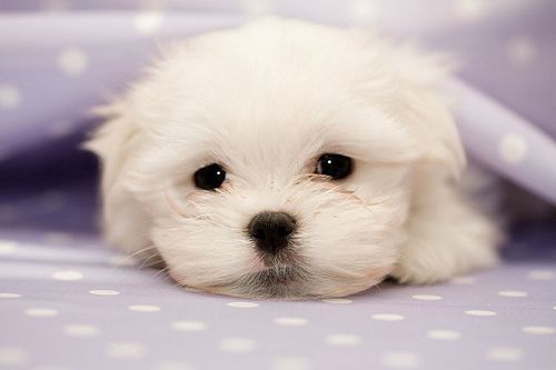 Maltese. Reminds me of my Kobe!