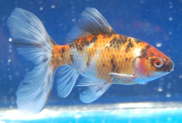 Shubunkin gold fish memory invokers pinterest for Shubunki fische