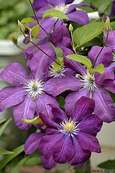 clematis 39 etoile violette 39 flowers pinterest. Black Bedroom Furniture Sets. Home Design Ideas