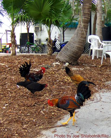 key west chickens - Google Search | Fly The Coop | Pinterest