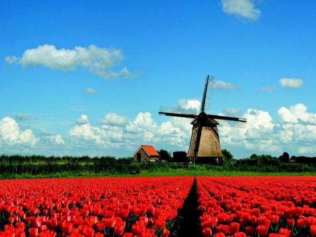 Dutch bulbfields and windmill