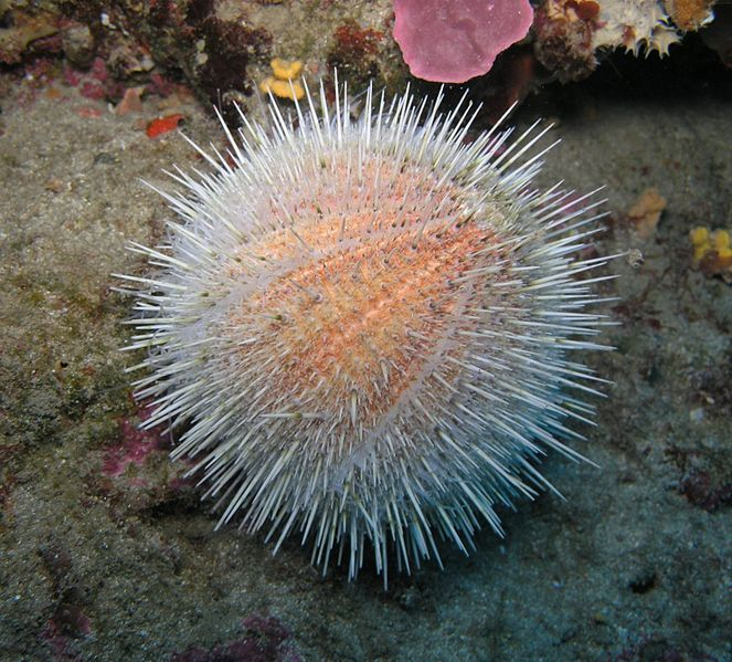 The Echinus melo or watermelon sea urchin -- sea urchins are small, spiny, globular animals which, with their close kin, such as sand dollars, constitute the class Echinoidea of the echinoderm phylum.