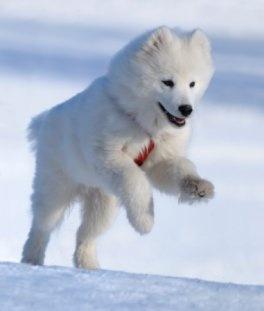 polar bear wolf hybrid dog..jk..samoyed | Dogs I Want