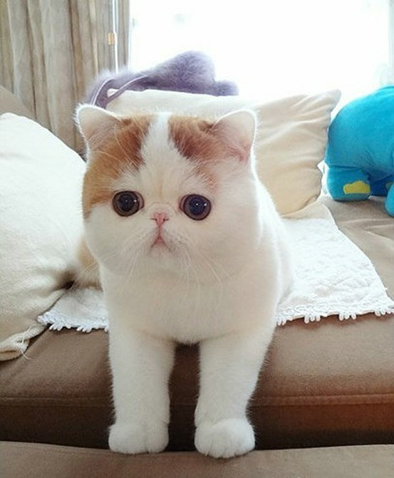 White Squishy Face Cat : Squishy face kitty Cats Pinterest