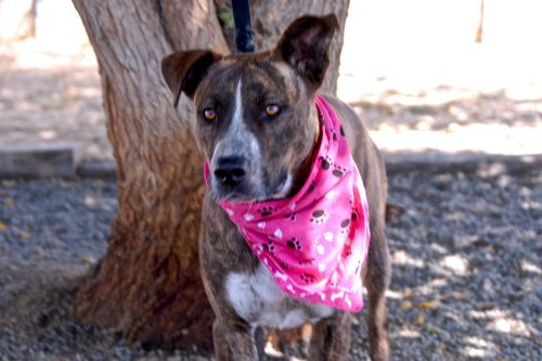 """PLEASE CHECK OUT JAVE AT """"ROTTS OF FRIENDS ANIMAL RESCUE"""" SHE IS FULL OF DOGGY KISSES AND JUST WANTS TO PLAY. SHE NEEDS HER FOREVER FAMILY TO COME AND GET HER."""