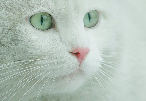 white cat with green eyes and pink nose