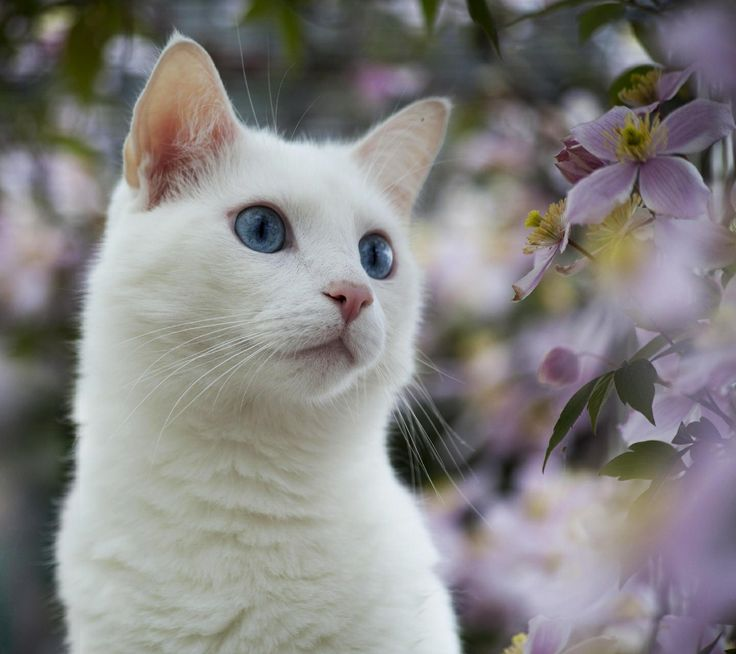 Uploaded to PinterestCute White Cat Blue Eyes