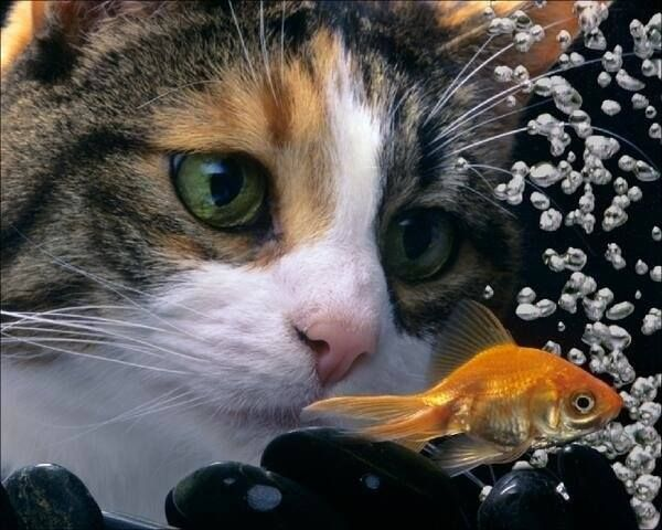 Poisson rouge english related keywords suggestions for Poisson rouge gros yeux