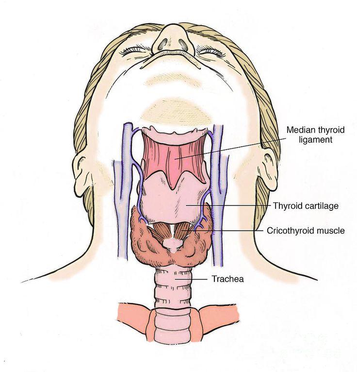 Human Throat Anatomy Digitalspacefo