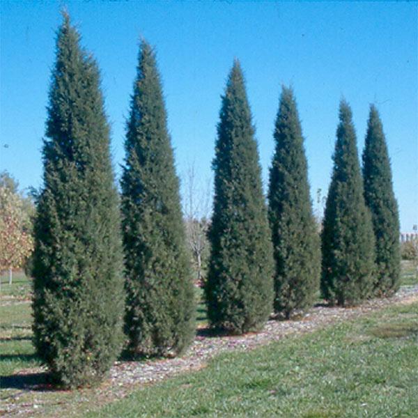 Taylor juniper narrow and upright home pinterest