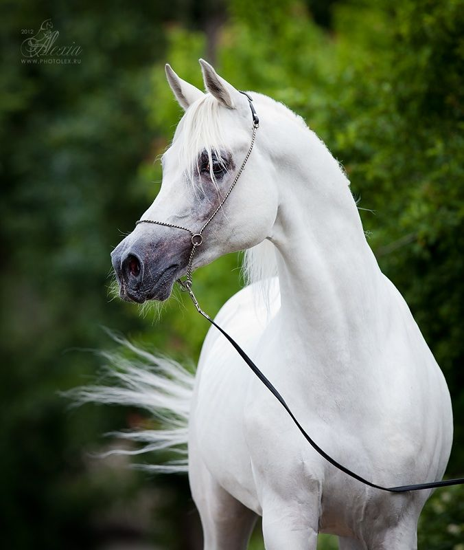 White arabian horse - photo#8