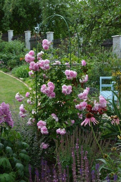 39 jasmina 39 rose photo old garden roses pinterest. Black Bedroom Furniture Sets. Home Design Ideas
