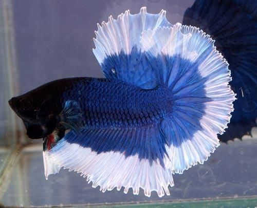 Blue halfmoon betta fish - photo#22