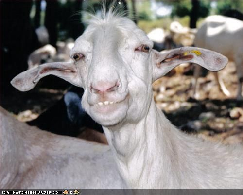 funny looking goat - photo #1