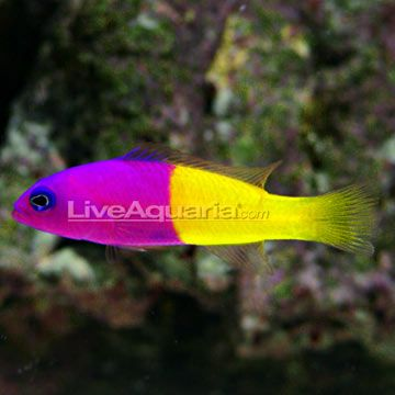Bicolor dottyback future fish tank pinterest for How to make saltwater for fish