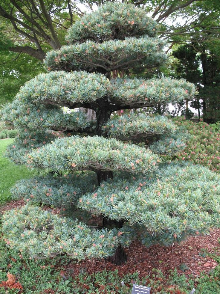Pin by linda pollak on planting small trees pinterest for Specimen trees zone 5