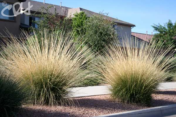 20 Easy And Cheap Diy Ways To Enhance The Curb Appeal also A Prairie Planting Idea With Echinacea Salvia And Penstemon besides Streng Home Modern Landscape Sacramento furthermore Ygrene Works besides Poliomintha Longiflora Mexican Oregano Rosemary Mint. on drought resistant landscaping