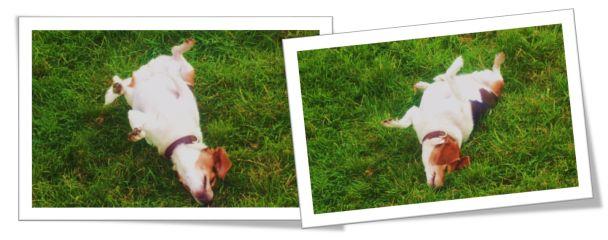 Dancing the Beagle Twist #dogs #beagles